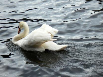 Angry swan charging