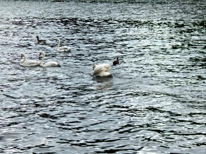 Bully swan