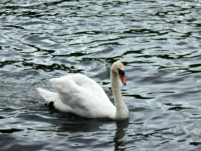 Smug bully swan